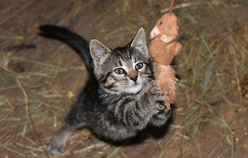Chloe as a Kitten Practicing Her Mouse Catching Moves