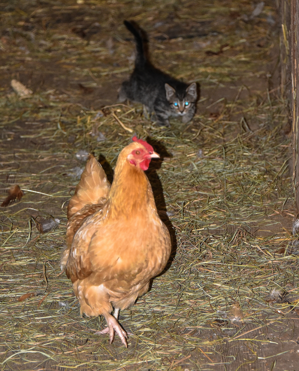 Chloe Stalking a Chicken