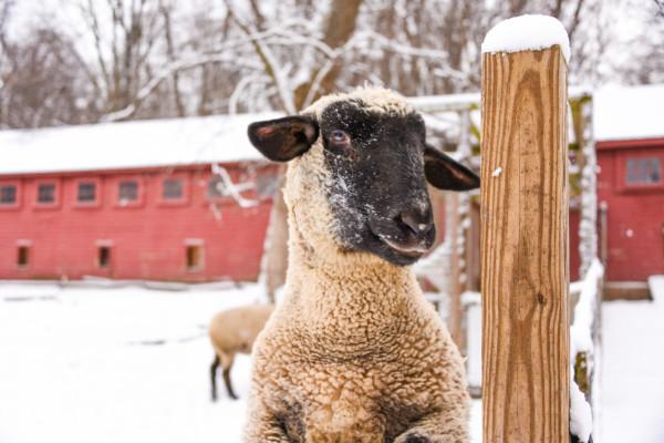 Sheep saying hello