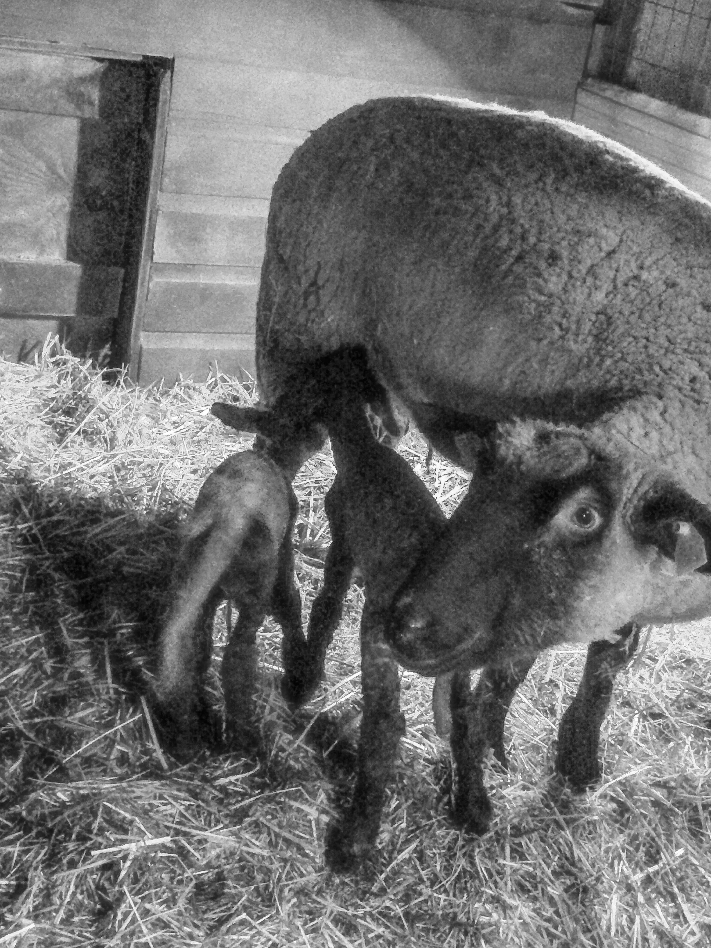 Lamb-and-Sheep-B-and-W