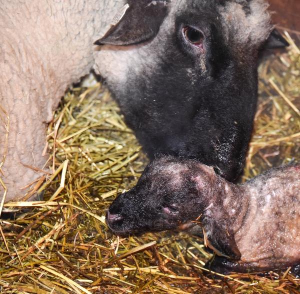 Lamb and Sheep Close Up