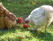 Chickens Recycling the Garden