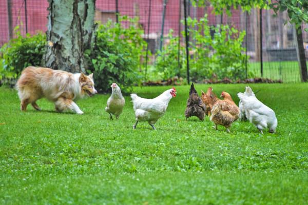 Rosie Herding the Free Range Chickens