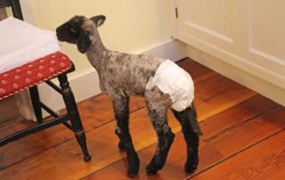 Bottle Lamb in Kitchen