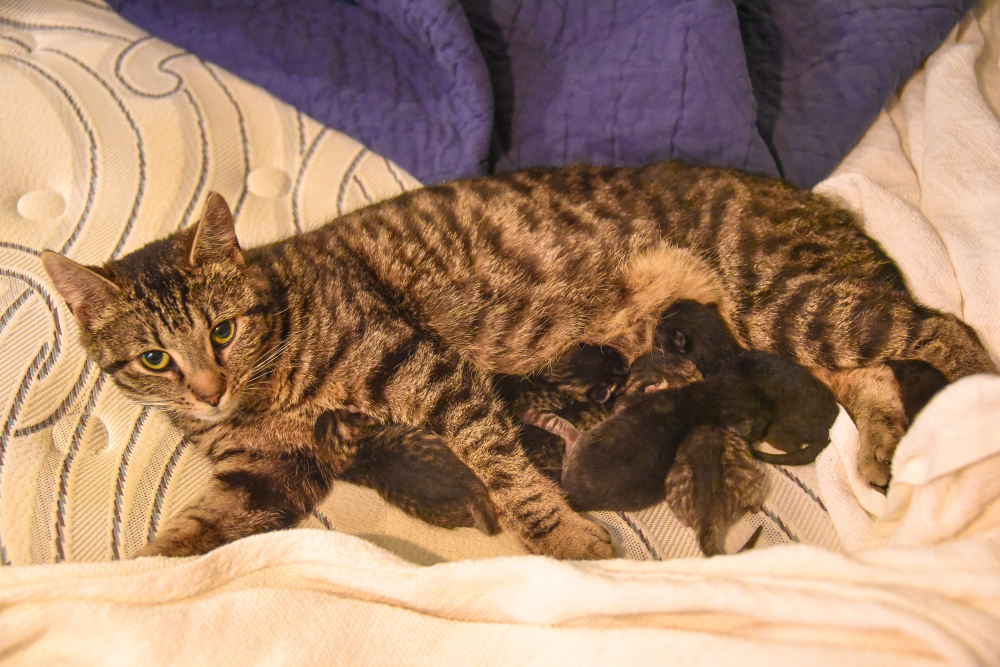 Chloe and Her Kittens After Giving Birth in my Daughter's Bed