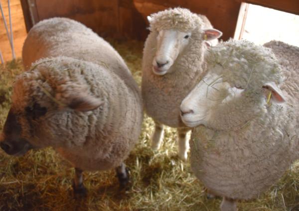 3 Ewes