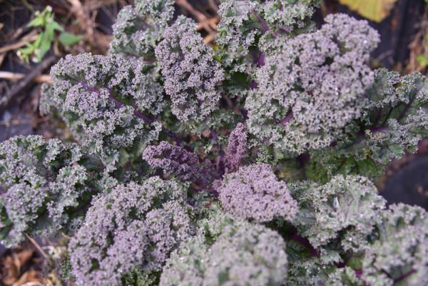 Kale at End of Season