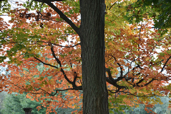 Changing Maple Trees