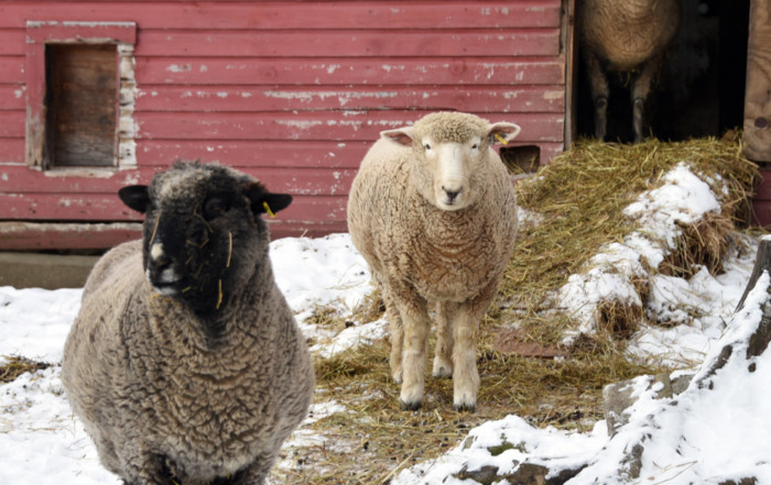 Two Pregnant Ewes