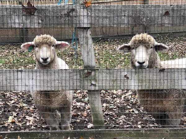 2 Ewes