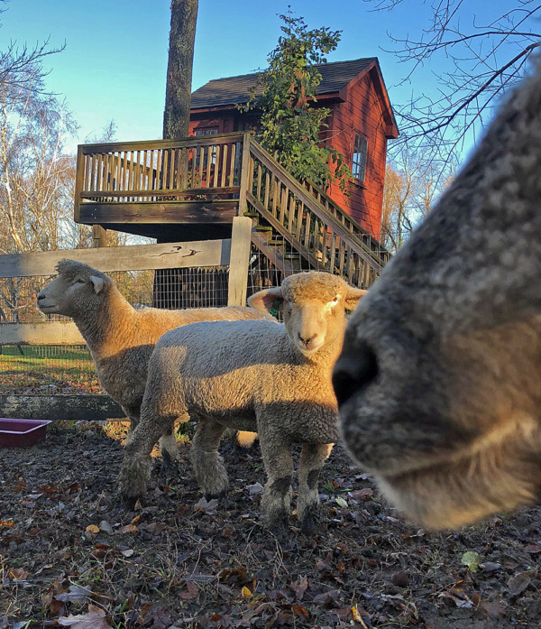 3 Ewes by Treehouse