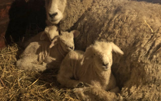 Lucrecia and the Lambs