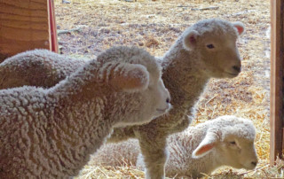 Lambs Getting Bigger