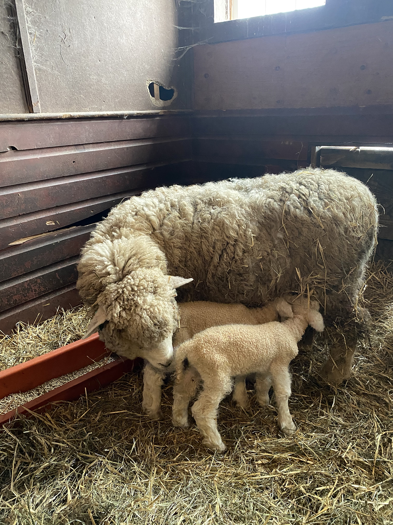 Lambs Getting a Drink