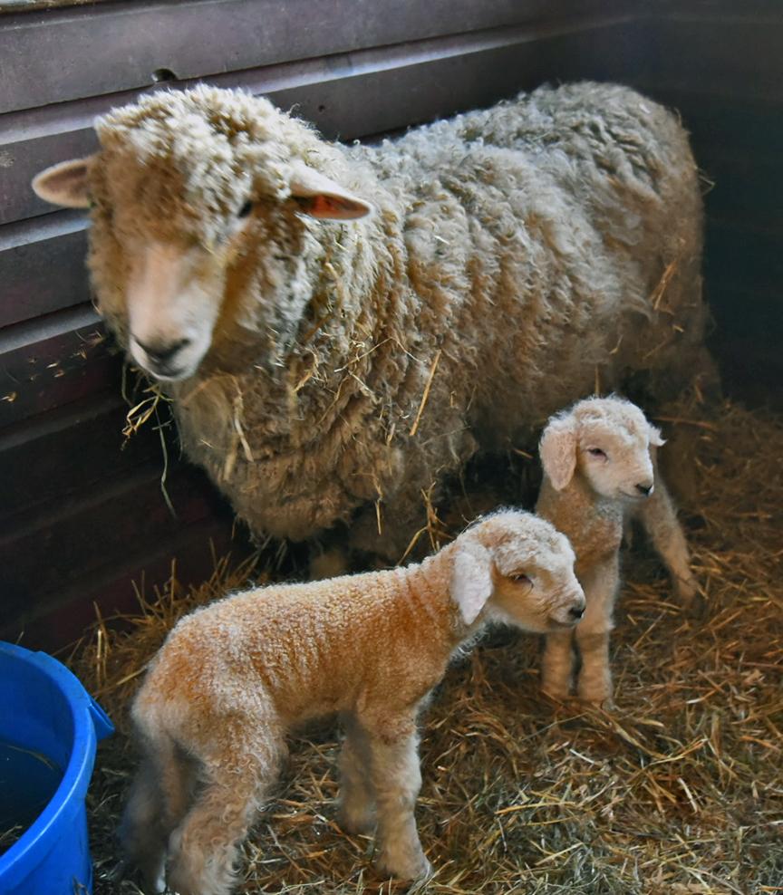 Lambs the Next Morning