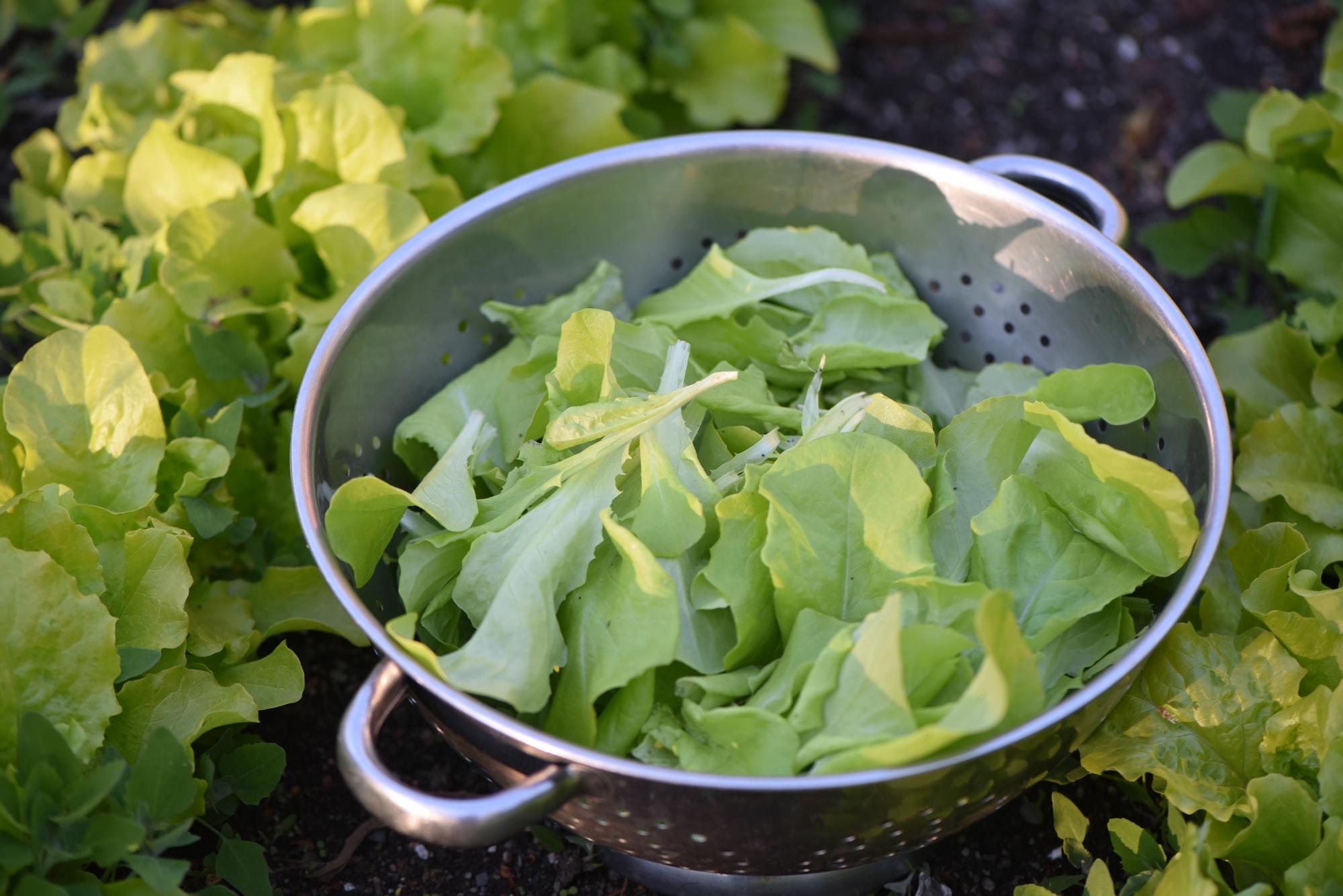 Gathering Lettuce for Dinner