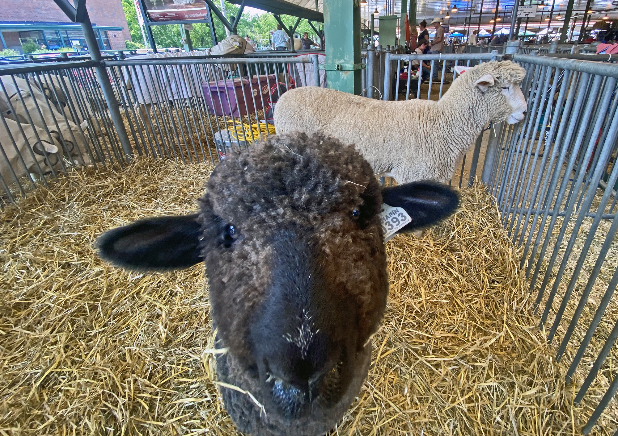 Two of Our Sheep